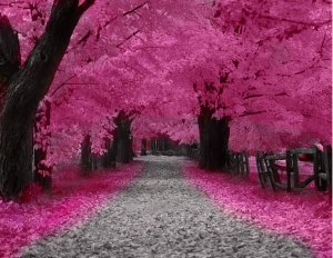 cherry-trees-pink-blossom
